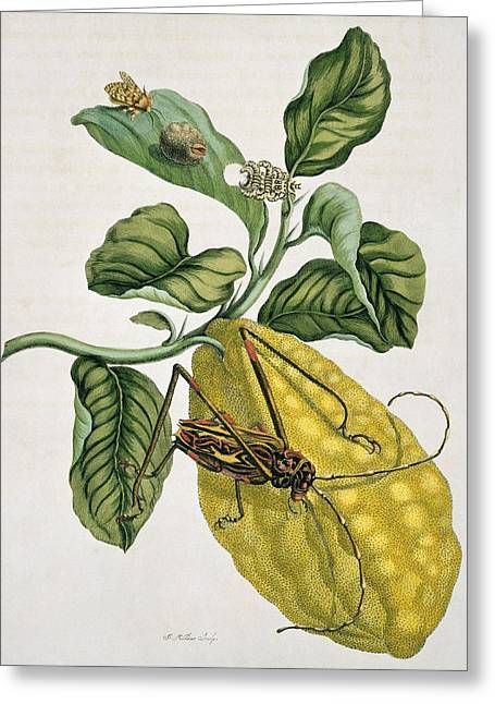 Insects Of Surinam, 18th Century Greeting Card