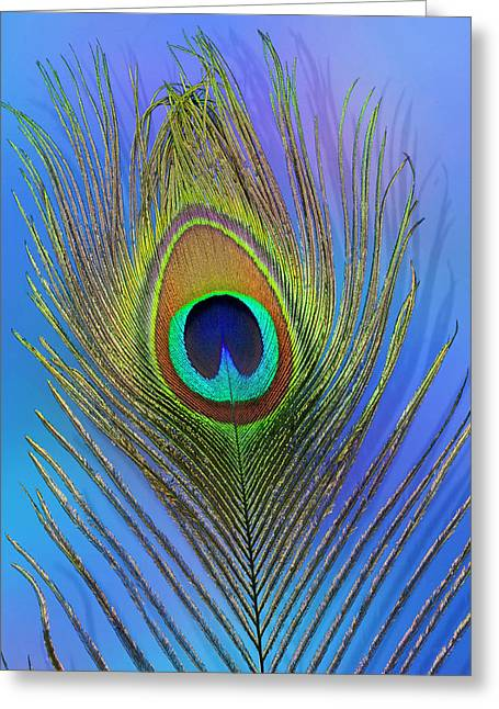 Male Peacock Display Tail Feathers Greeting Card by Darrell Gulin