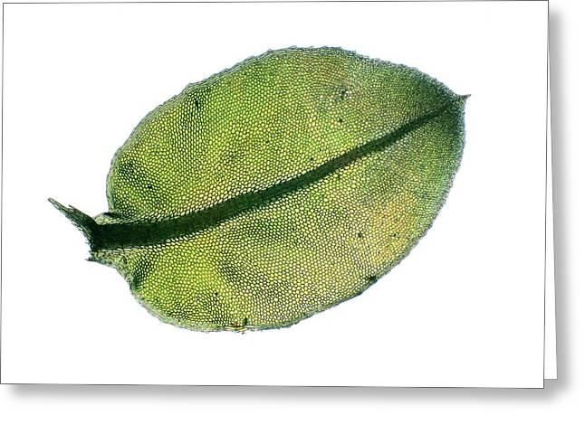Moss Leaf Greeting Card by John Durham
