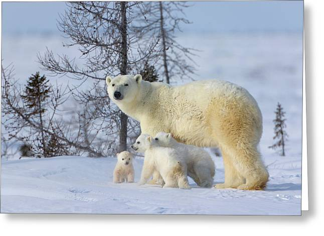 Mother Polar Bear With Three Cubs Greeting Card by Keren Su
