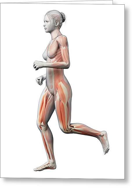 Muscular System Of Runner Greeting Card by Sebastian Kaulitzki