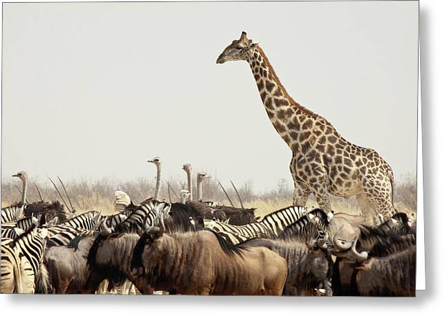 Namibia, Etosha National Park Greeting Card