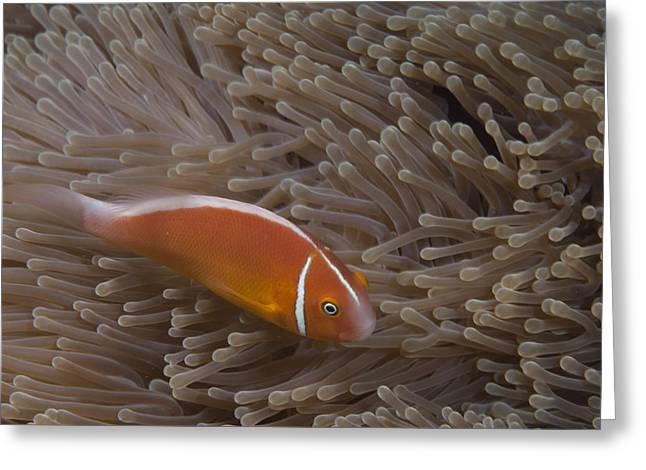 Pink Anemonefish In Its Host Anenome Greeting Card by Terry Moore