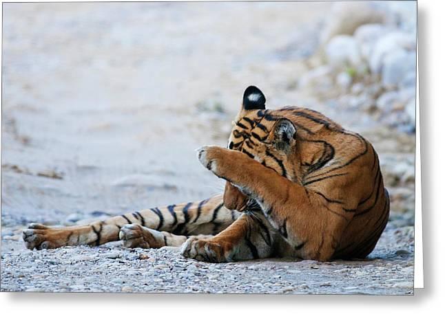 Royal Bengal Tiger (male Greeting Card