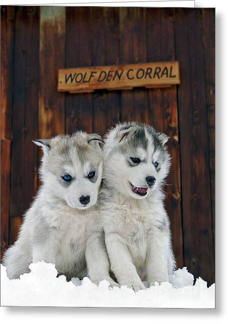 Siberian Husky Puppies Greeting Card by Rolf Kopfle