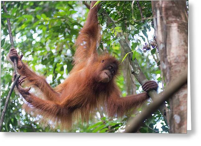 Sumatran Orangutan Greeting Card