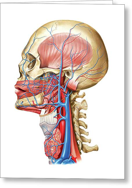 Venous System Of The Head And Neck Greeting Card