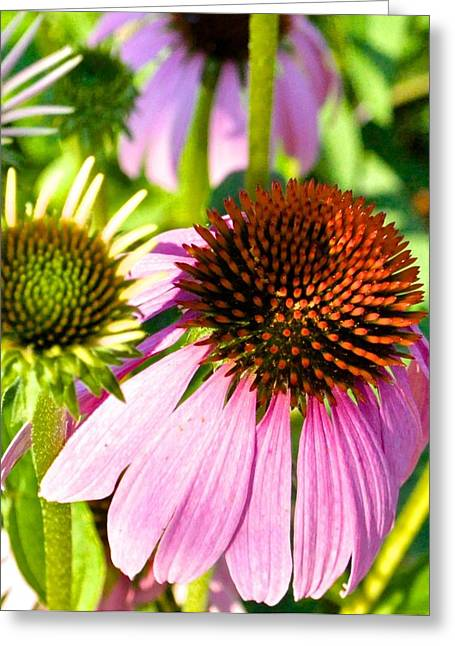 Hill Country Pink Daisy Flower Greeting Card by Kristina Deane