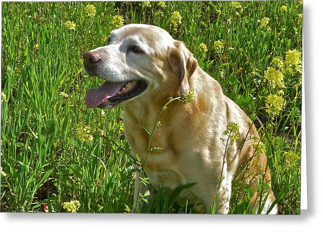Yellow Labrador Greeting Card by Steven Lapkin