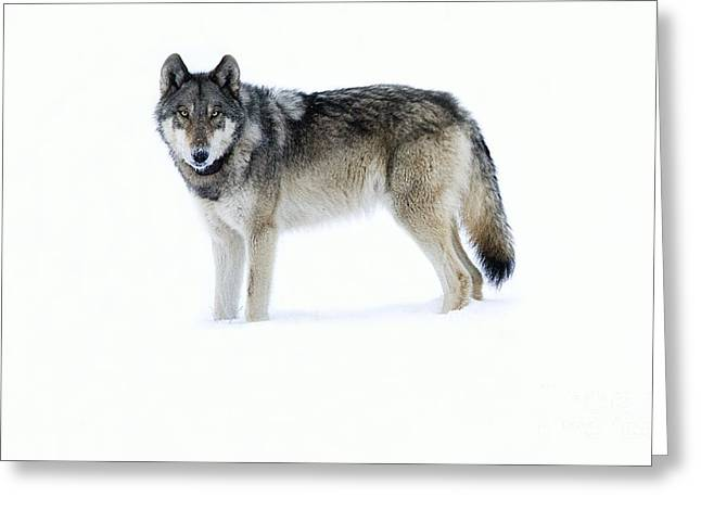 820f Of The Lamar Canyon Pack Greeting Card
