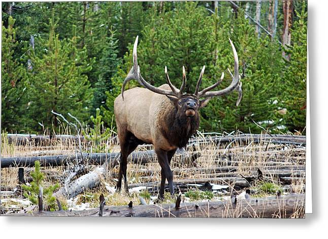 856p Bull Elk Greeting Card