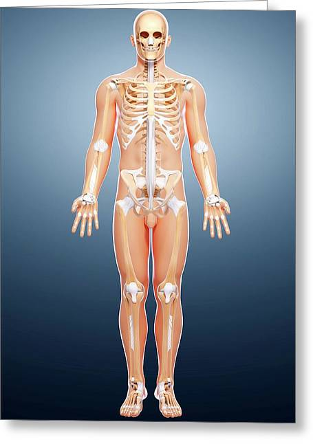 Male Skeleton Greeting Card by Pixologicstudio/science Photo Library