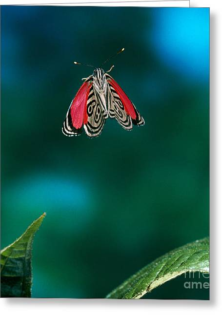 89 Butterfly In Flight Greeting Card by Stephen Dalton