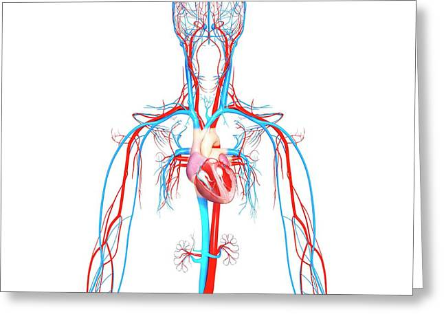 Cardiovascular System Greeting Card by Pixologicstudio/science Photo Library