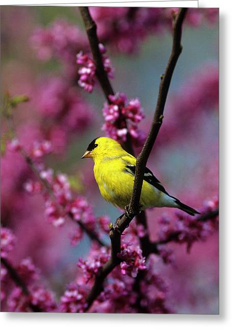American Goldfinch (carduelis Tristis Greeting Card by Richard and Susan Day