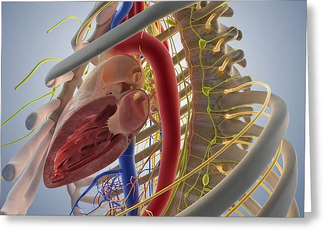 Cardiovascular System, Artwork Greeting Card by Science Photo Library