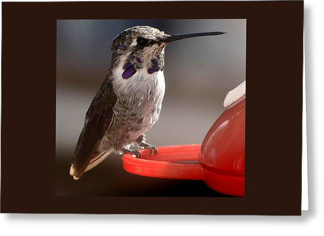 Greeting Card featuring the photograph Female Anna's Sitting On Perch by Jay Milo