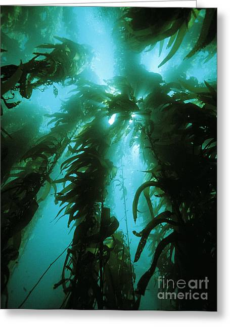 Giant Kelp Greeting Card by Georgette Douwma