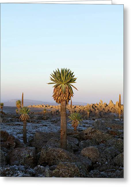 Giant Loebelia (lobelia Rhynchopetalum Greeting Card by Martin Zwick
