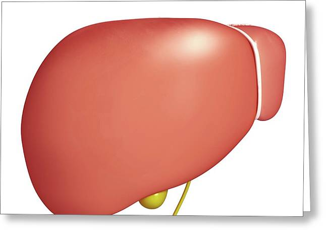 Healthy Liver Greeting Card by Pixologicstudio/science Photo Library