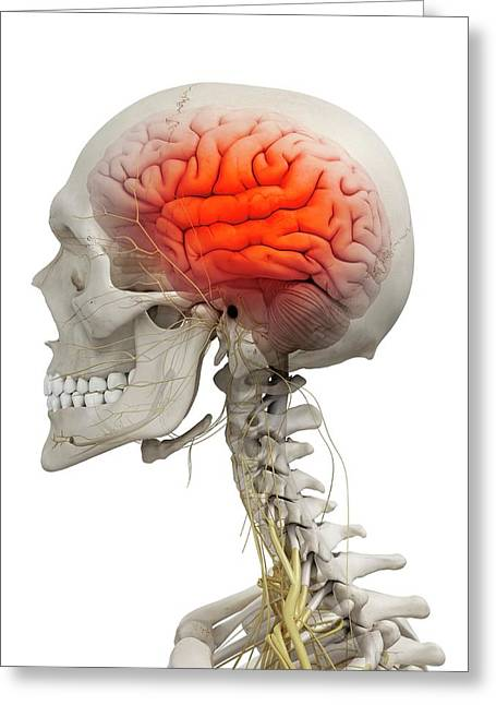 Human Brain Greeting Card by Sciepro