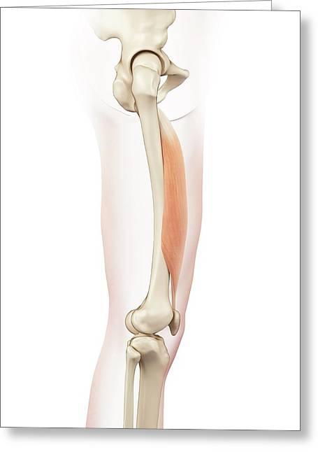 Human Thigh Muscle Greeting Card by Sciepro