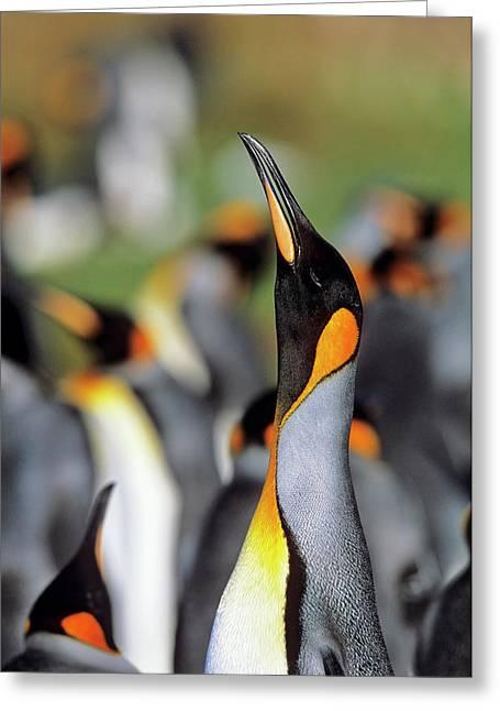 King Penguin (aptenodytes Patagonica Greeting Card