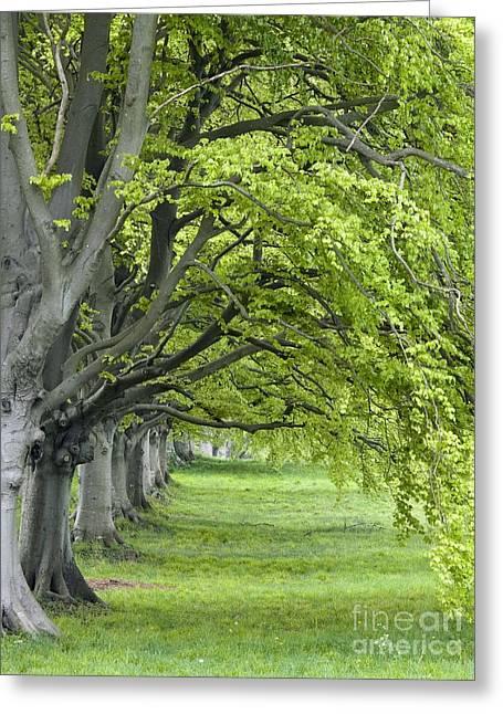 Mature Beech Trees Fagus Sylvatica Greeting Card