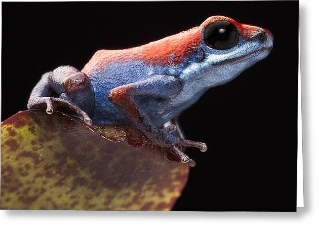 Poison Dart Frog Greeting Card by Dirk Ercken