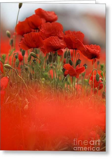 Red Poppy Flowers Greeting Card by Nailia Schwarz