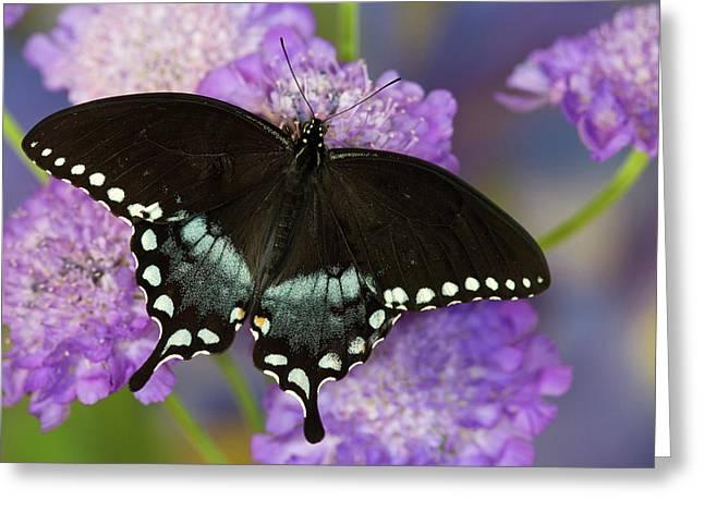 Spicebush Swallowtail Butterfly Greeting Card by Darrell Gulin