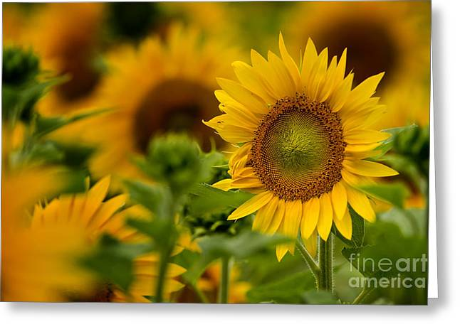 Sunflower Greeting Card by Michael Cummings