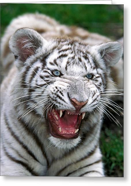 Tigre Blanc Panthera Tigris Greeting Card by Gerard Lacz