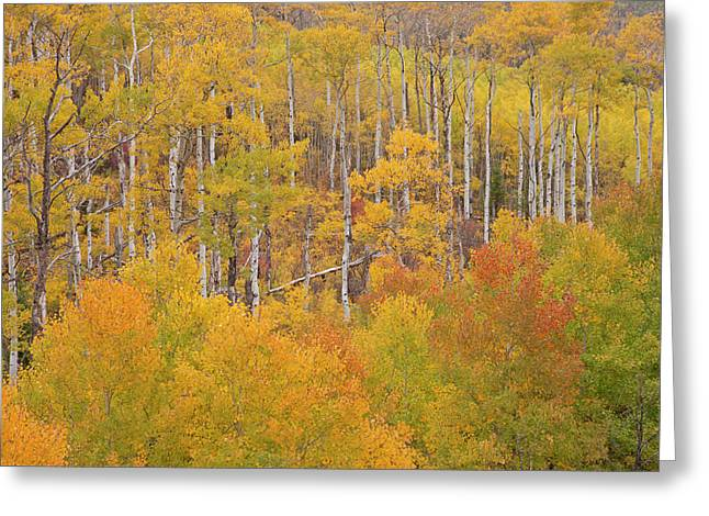 Usa, Colorado, White River National Greeting Card by Jaynes Gallery