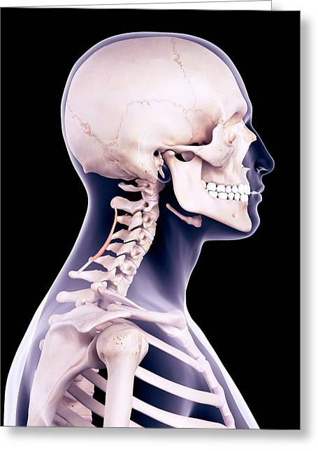 Neck Muscles Greeting Card by Sebastian Kaulitzki/science Photo Library
