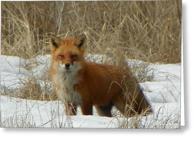 #926 D762 Salisbury Beach State Reservation Fox On The Hunt Greeting Card