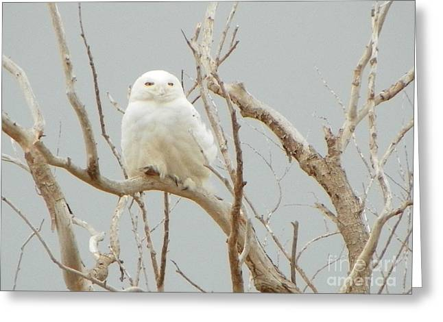 932 D942 Snowy Owl Salisbury Beach State Reservation Greeting Card