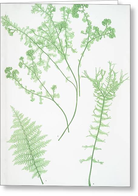A. Athyrium Filix-foemina Crispum. B. Athyrium Greeting Card by Litz Collection