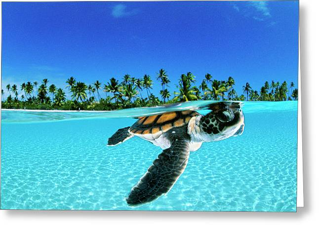 A Baby Green Sea Turtle Swimming Greeting Card
