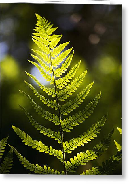 A Backlit Fern Frond  Northumberland Greeting Card