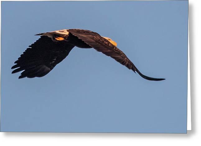 A Bald Eagle, Haliaeetus Leucocephalus Greeting Card by Kent Kobersteen