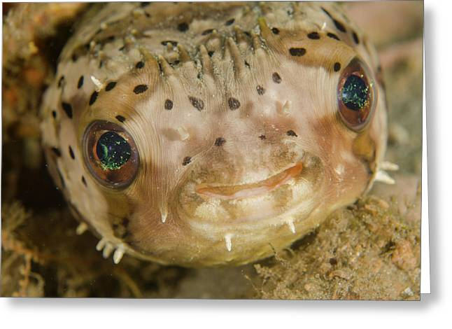 A Balloonfish Diodon Holocanthus Greeting Card by Brent Barnes