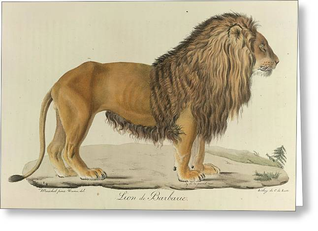 A Barbary Lion Greeting Card by British Library