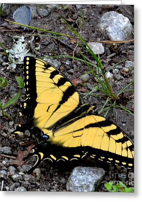A Beautiful Swallowtail Butterfly Greeting Card by Eva Thomas