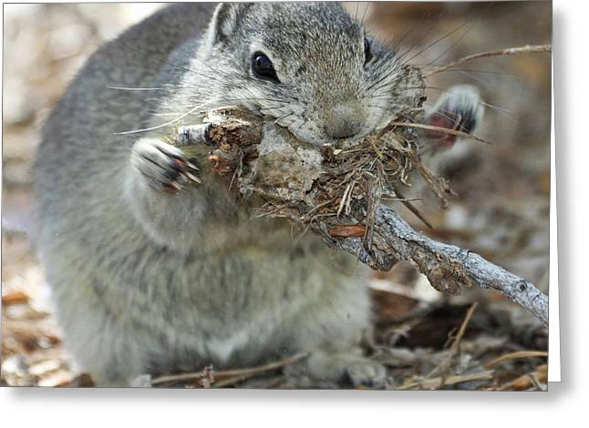 A Belding's Ground Squirrel Gathers Greeting Card by William Sutton