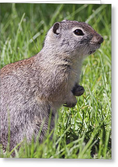 A Belding's Ground Squirrel On Alert Greeting Card by William Sutton