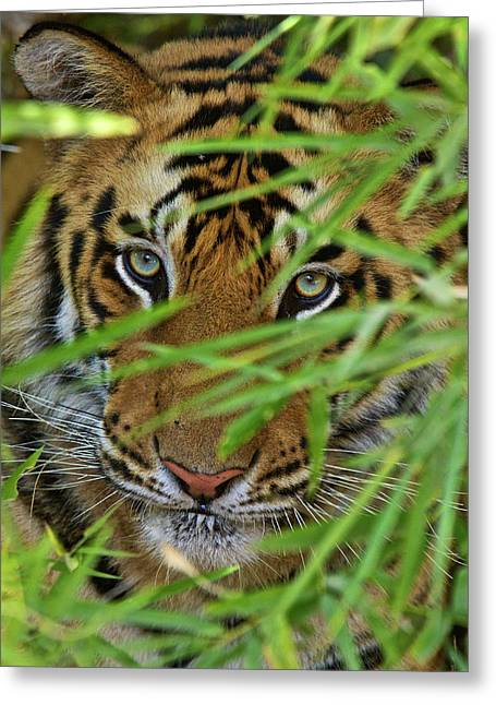 A Bengal Tiger Hidden By Bamboo Leaves Greeting Card