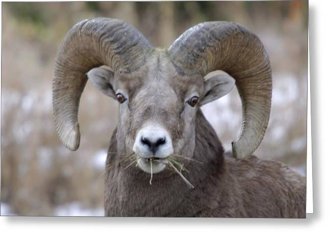 A Big Ram Caught With His Mouth Full Greeting Card by Jeff Swan