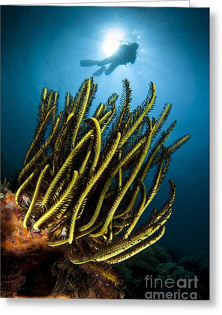 A Black And Yellow Crinoid With Diver Greeting Card by Steve Jones