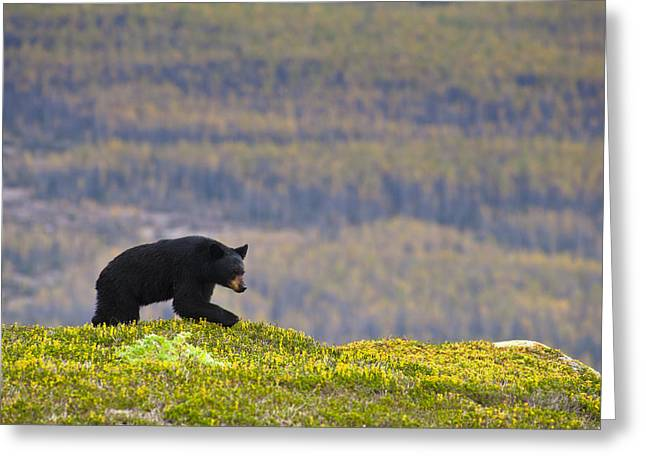 A Black Bear Foraging For Berries Near Greeting Card by Michael Jones